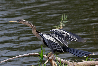 Beautiful pose of this female Anhinga