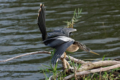 This female Anhinga is threatening the heron that is trying to take this spot