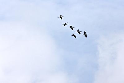 A flockof Wood Storks