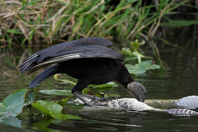 Black Vulture feeding from an alligator carcass