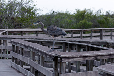 Heron at the boardwalk
