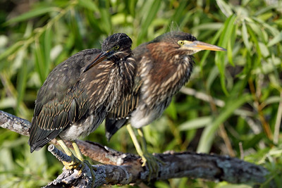 Young Green Herons