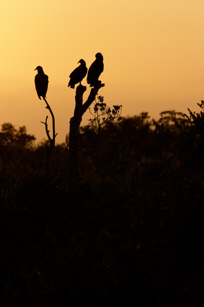 Vulture silhouettes at sunrise