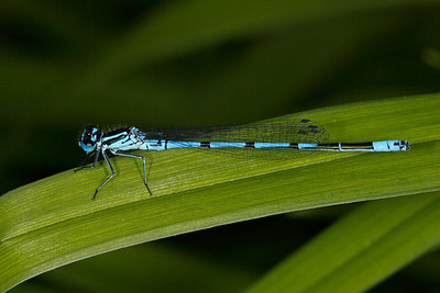 Damselfly I - they are active in our garden looking for mates