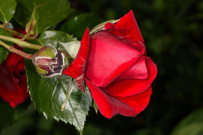 One of the first roses - the summer is slowly starting here in Holland