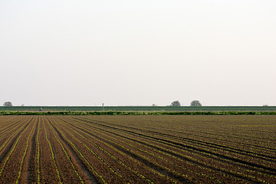 Newly planted crop in the fields near Zuid-Beijerland