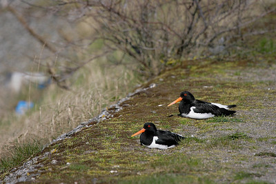 A pair of Scholeksters (Heamatopus ostralegus) in the harbour of Zoutkamp