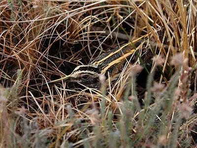 Lymnocryptes minimus (In Dutch it is called a Bokje)
