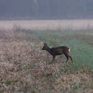 2011-03-15 Kampina Deer