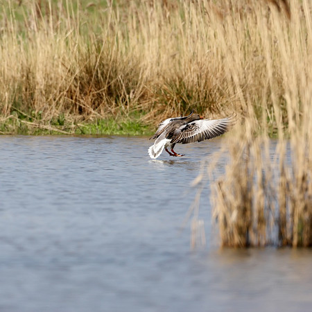 Landing of a goose