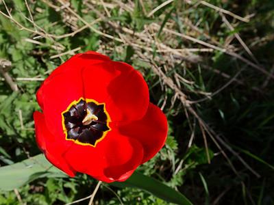 A fresh tulip