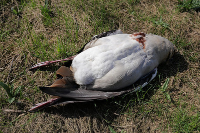 Carcass of a beheaded goose