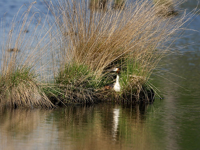 A Fuut (podiceps cristatus) on its nest