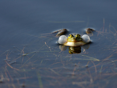 A frog in the mating season