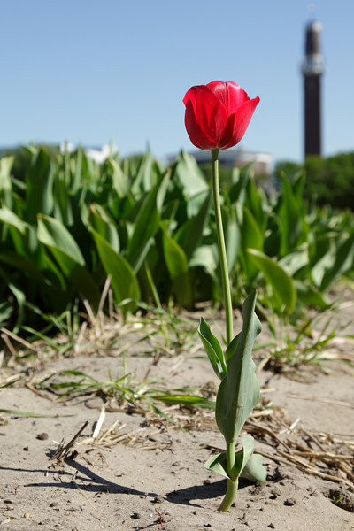 A lonely tulip standing proud while the buds of the others have been removed