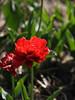 Sunlover tulips