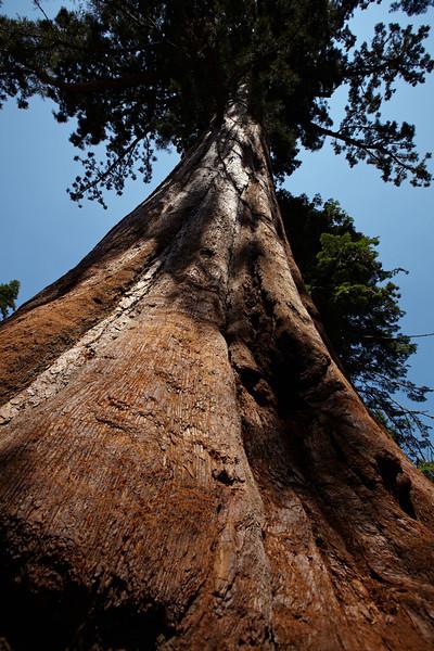 A sequoia tree