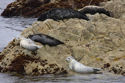 Seals near Monterey