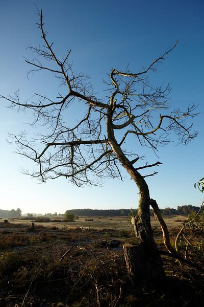 Dead tree on the heather