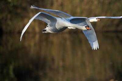 Swans at nature reserve De Maay in Bergeijk