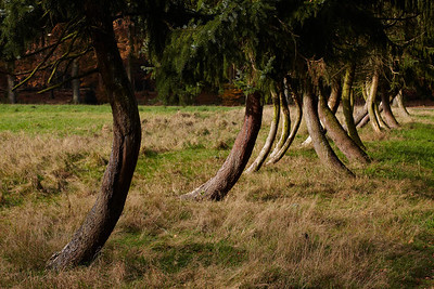 Odd shaped line of trees