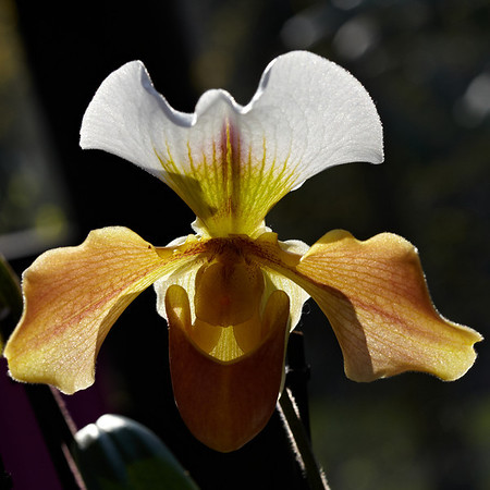 Backlight on an orchid