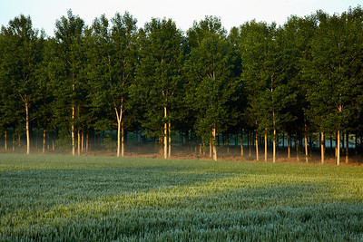 Early morning light on a pattern of trees near Spessa