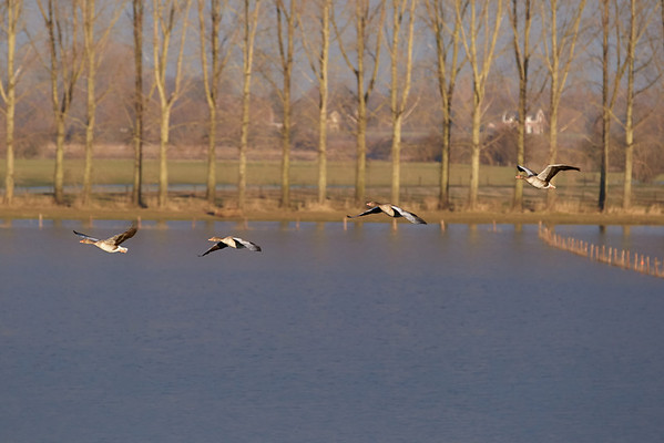 Geese in flight near Hurwegen