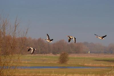 Geese in flight near Hurwegen