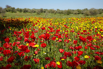 A poppy field in the Estremadura