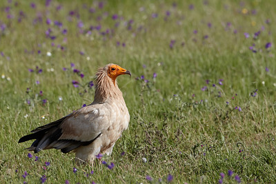An Egyptian Vulture in the Estremadura