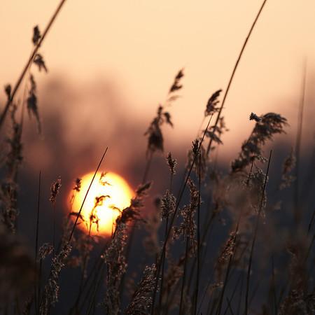 Sunrise through the reeds at 't Lisje