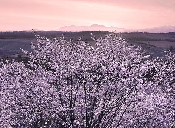 Sunrise Cherry