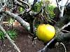 Backyard Apple
