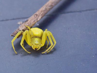 "Araignée jaune ""misumena vatia"" (?)"