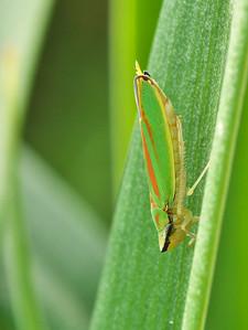 Cicadelle (Graphocephala) - Ordre des Hémiptères
