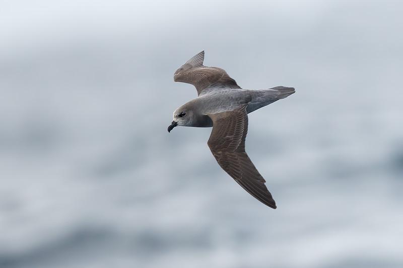 Soft-plumaged Petrel dark morph