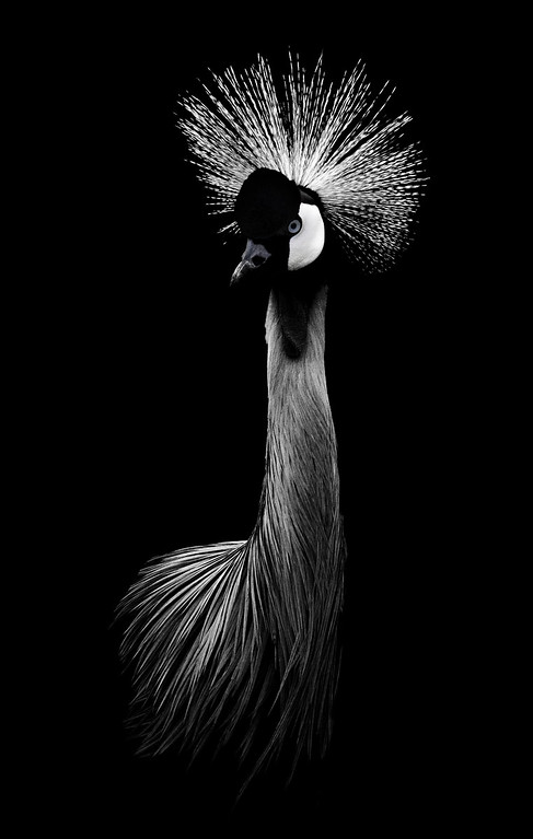 African Crowned Crane - Process