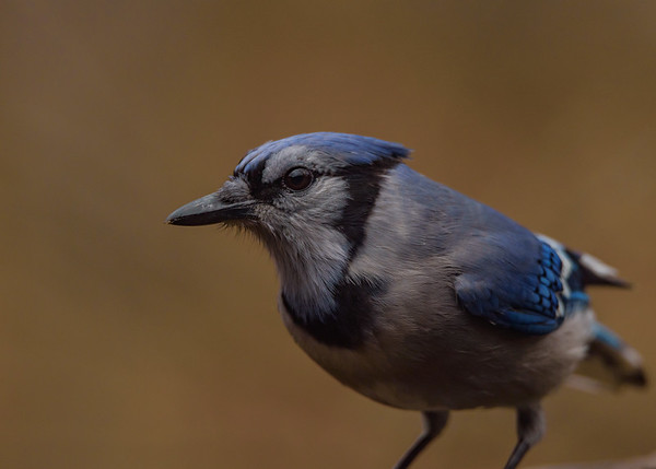 a portrait of Blue Jay at Fernwood Botanical Garden Nature Centre, Niles, MI