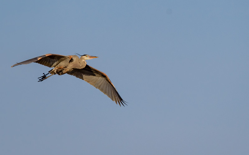 Great Blue Heron in flight at Highland's Heron Rookery, Highland, IN