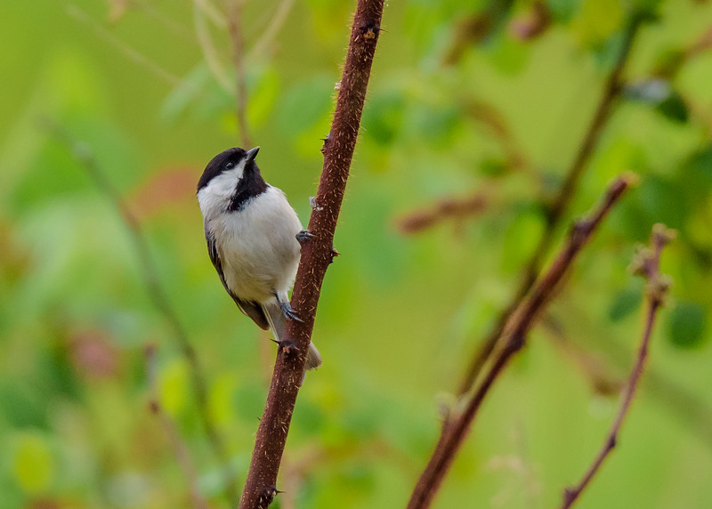 a Carolina Chickadee at Falling Springs Bird Sanctuary, French Lick, IN