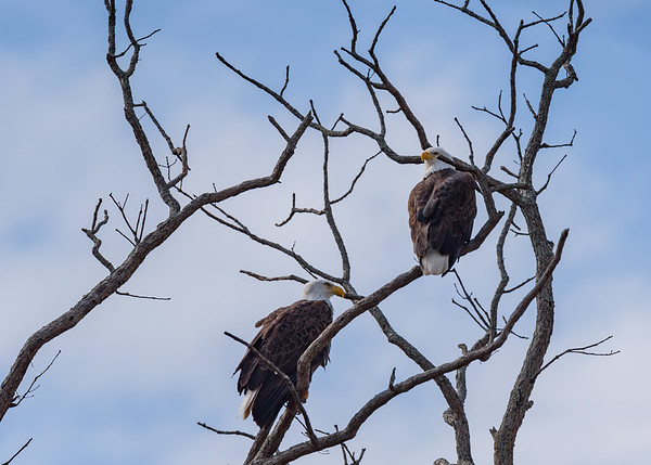 Bald Eagle at Goose Pond FWA, Linton, IN