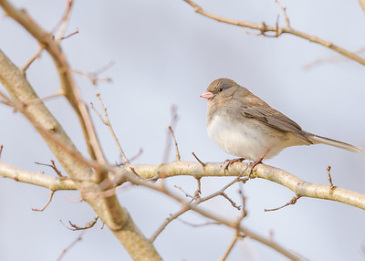 a Dark-eyed Junco at Fernwood Botanical Garden, Niles, IN