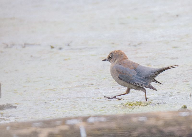 female Rusty Blackbird at Potato Creek State Park, IN