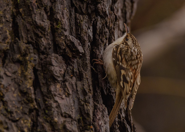 Brown Creeper at Fiddlers Pond, Goshen, IN