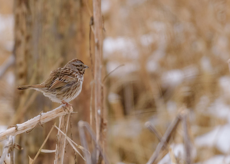 Song Sparrow at Celery Bog Nature Area, West Lafayette, IN