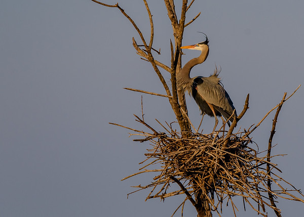 another Great Blue Heron guarding its nest at Highland's Heron Rookery, Highland, IN