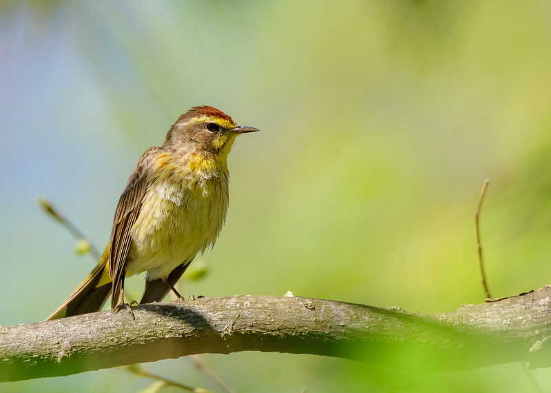 a Palm Warbler at Eagle Creek Park, Indianapolis, IN