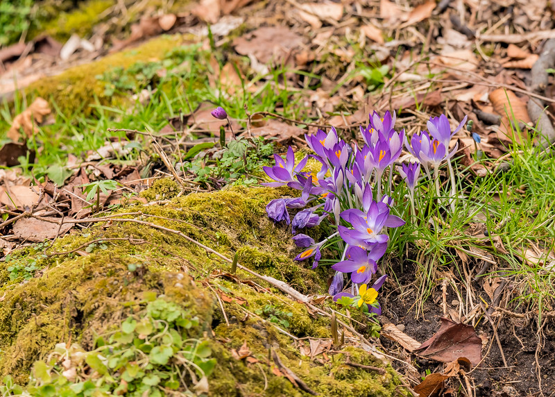 Crocus flowers ushering spring at Fernwood Botanical Garden