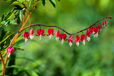 Red Bleeding Heart Plant
